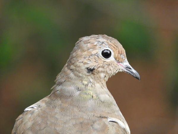 Vertical profile of a dove against a blurred green background. Beige Green Color Mourning Doves Profile Animal Themes Animal Wildlife Animals In The Wild Beak Bird Birds Birds_collection Close-up Day Focus On Foreground Mourning Dove Nature Nature_collection No People One Animal Outdoors Perching