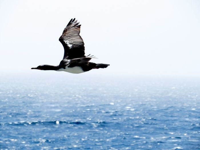 Auckland Island Shag Sub Antarctics Wildlife NZ Birds Enderby Island Auckland Islands Auckland Island Shag Auckland Island Cormorant Shag Blue Sky Open Sea Vulnerable Endemic Flying Animals In The Wild One Animal Animal Wildlife Nature Spread Wings Sea Bird Outdoors Beauty In Nature Sky Mid-air Day Animal Themes No People Water