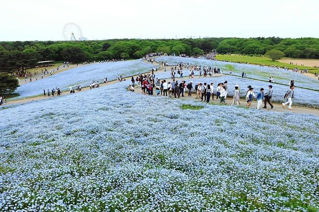 Large Group Of People Domestic Animals Animal Themes Mammal Day Outdoors Nature Large Group Of Animals Sky People Water Beauty In Nature Adult Adults Only Tokyo Japan HitachiSeaSidePark Hitachi Seaside Park Nemophila