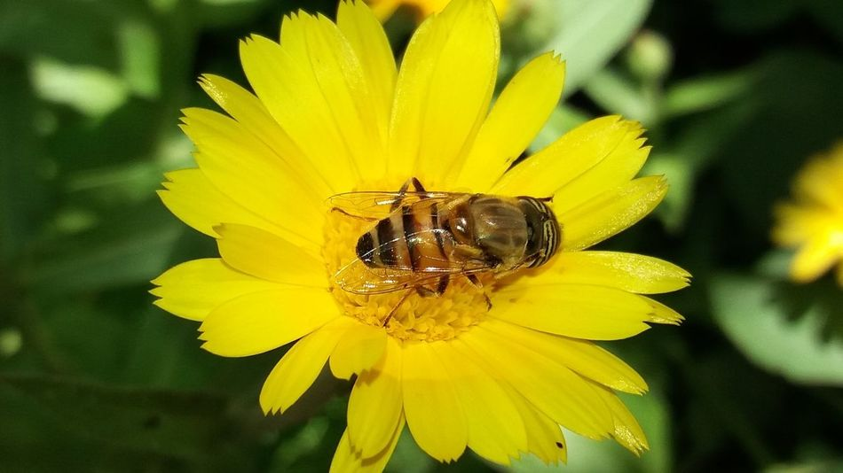 Animal Themes Animal Wildlife Animals In The Wild Beauty In Nature Bee Blossom Close-up Day Flower Flower Head Focus On Foreground Fragility Freshness Growth Insect Nature No People One Animal Outdoors Petal Plant Pollen Pollination Stamen Yellow