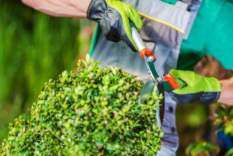 Midsection of gardener cutting plants in garden