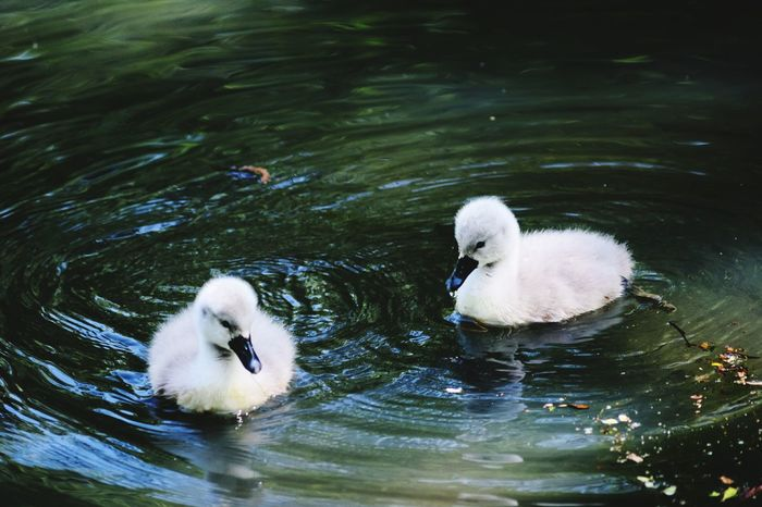 Cygnets Young Animal Young Bird Water Bird Animal Swan Cute Animals In The Wild Lake Swimming Beak Animal Family Togetherness No People Close-up Animal Themes Day Nature Beauty In Nature Nikon D300 Tranquility Natural Wales