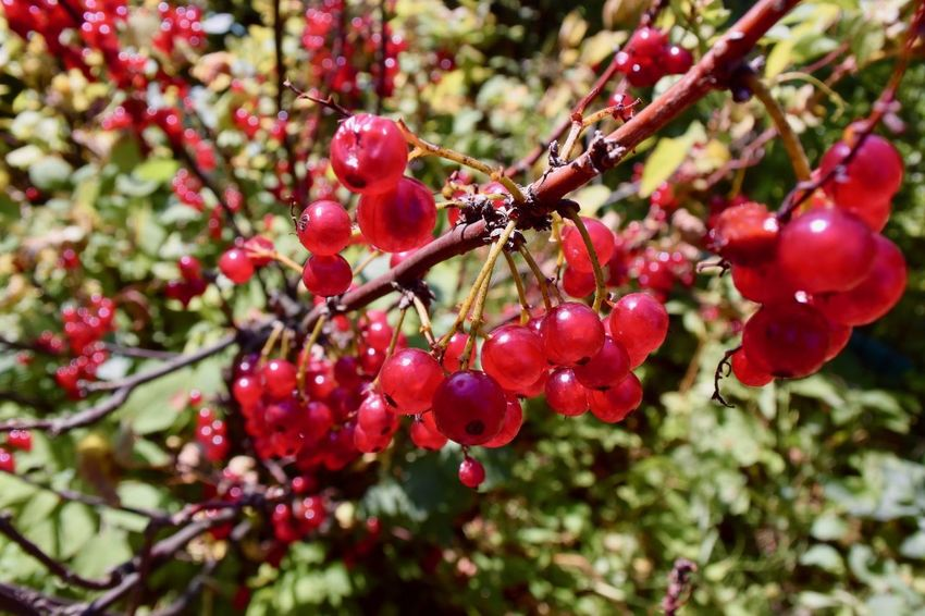 Farm Beauty In Nature Berry Berry Fruit Bush Close-up Currant Food Food And Drink Freshness Fruit Growth Harvest Healthy Food Nature No People Organic Outdoors Plant Red Red Currant Selective Focus Summer Vitamin Wellbeing