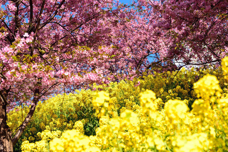 Flower Flowering Plant Plant Beauty In Nature Growth Freshness Fragility Springtime Vulnerability  Blossom Yellow Tree Nature Pink Color No People Day Close-up Botany Agriculture Field Outdoors Cherry Blossom Cherry Tree Flower Head Kawazu-zakura
