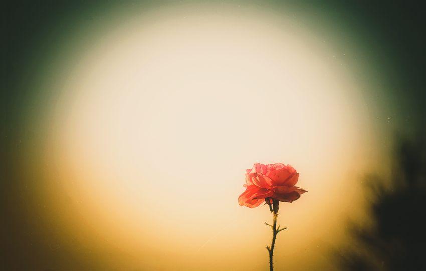 Rose - Flower Beauty In Nature Flower Flowering Plant Flower Head