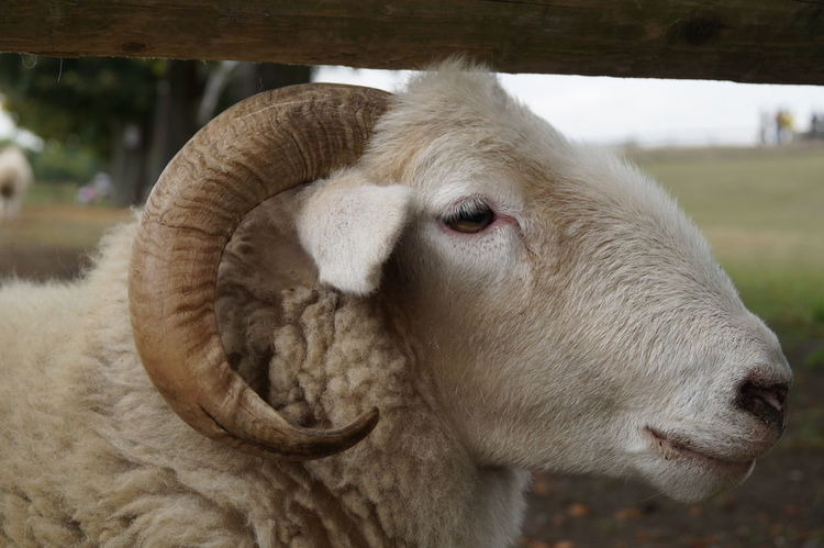 Animal Animal Head  Animal Themes Cattle Close-up Domestic Domestic Animals Domestic Cattle Herbivorous Horn Sign Livestock No People One Animal Pets Portrait Sheep Sheep Head Snout