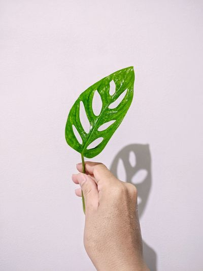 Close-up of hand holding monstera leaf over white background