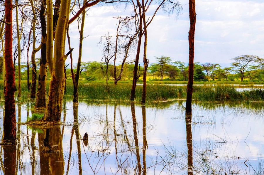 Springs of life. Acacia trees in Lake Elmentaita, Kenya. Acacia Trees Tranquility Reflection Lake Nature Tranquil Scene Water Beauty In Nature Tree Trunk Birches Woods African Lake African Landscape Kenya East Africa Climate Change Lake Elmentaita Sahara Sun-saharan Arid Climate Trees Scenics Landscape Safari EyeEmNewHere