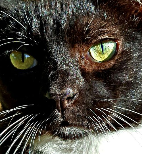 Domestic Cat Animal Themes One Animal Domestic Animals Cat Pets Close-up Whisker Feline Animal Head  Animal Body Part Animal Eye Looking At Camera Animal Mammal Portrait Part Of Staring Zoology My Feral Cat