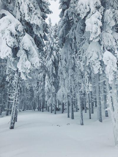 Cold Temperature Winter Snow Tree Forest Coniferous Tree