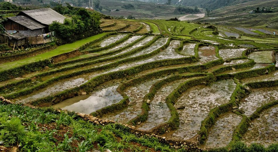 Vietnam Sapa Agriculture Field Landscape Farm Terrace Rural Scene Growth Terraced Field Land Environment Crop  Rice Paddy Rice - Cereal Plant Plant Scenics - Nature High Angle View Green Color Water Nature Rice