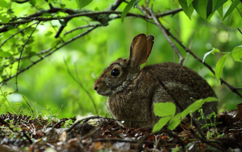 Hiding in the woods!🐇🐇 Rabbit Rabbit Portrait Cottontail Rabbit Nature Animal Themes Animals In The Wild Animal Wildlife One Animal Nature Green Color Forest Close-up Tree Beauty In Nature Outdoors Mammal in United States Pet Portraits