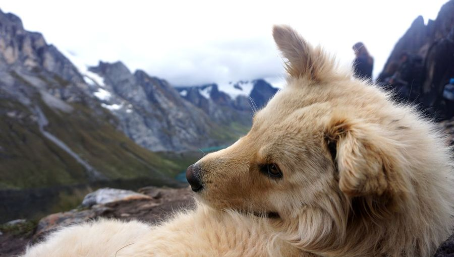 Close-up of a dog on snow covered mountain