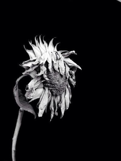 Close-up of flower over black background