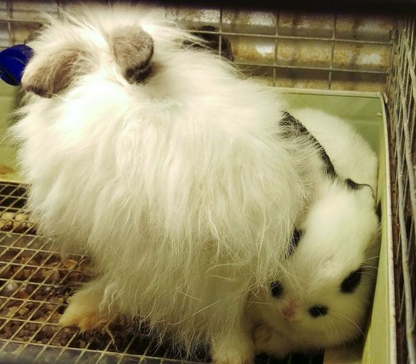 """Umm,excuse me but I was here first. Please dont sit on my head!"" Bunnies Bunny Rivalry Bunny Bully :("