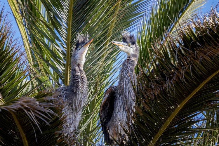 two great blue heron chics in a nest Plant Bird Animal Themes Animal Wildlife Animal Animals In The Wild Vertebrate Nature Palm Tree No People Tropical Climate Tree Leaf One Animal Palm Leaf Growth Day Outdoors Close-up Bird Nest Great Blue Heron Chicks