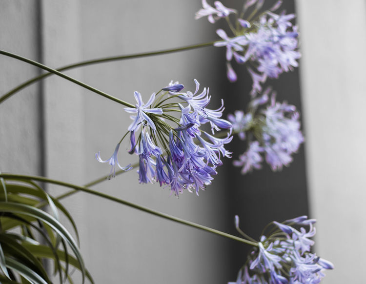 Beauty In Nature Blooming Close-up Day Flower Flower Head Fragility Freshness Growth Lavender Nature No People Outdoors Petal Plant Plant Stem Purple