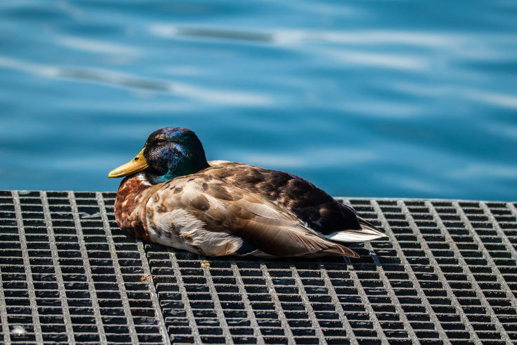 High angle view of a duck