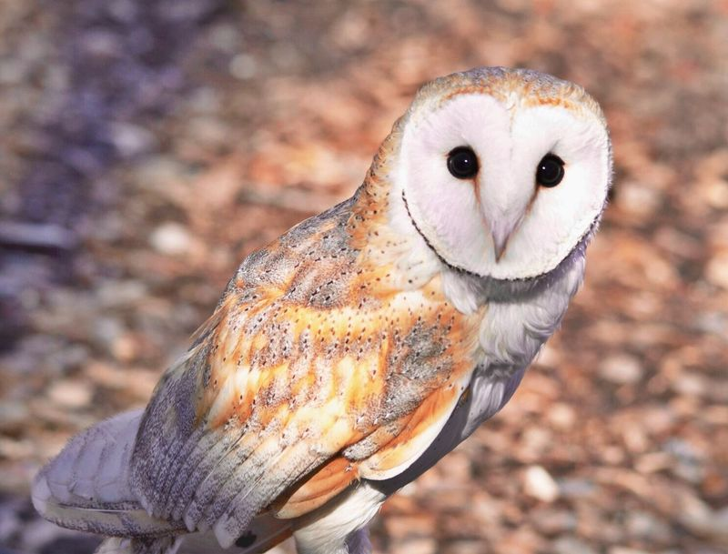 I love owls. At least, today I do. This is a common barn owl that we see pretty often in the Midwest. They make the weirdest screeching noise. But they have heart shape heads if you look closely you can see. And those huge beautiful eye balls!! Awe
