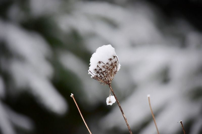 Nature Fragility Flower Close-up Beauty In Nature Outdoors Growth Freshness Plant No People Flower Head Day Snow Winter Weeds Are Beautiful Too Snow Covered Outdoor Photography Snow ❄ Outside Photography Freshness Beauty In Nature Plant Nature Growth Scenery Shots