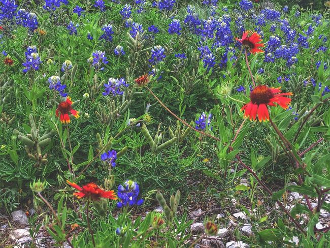 Texas Wildflowers Texas Bluebonnets Indian Red Blankets Wildflowers Wild Spring Flowers State Flower Texas EyeEm Flower Springtime Flower Collection Texas State Flower Bluebonnets EyeEm Nature Lover EyeEm Nature Collection Nature_collection Texas Landscape Spring Blue And Red IPhone Backgrounds Eye4photography  Flowers Blue Flowers Flower Growth Fragility Nature Beauty In Nature Field Petal Freshness Plant Flower Head Outdoors Uncultivated Blooming Green Color Day No People Purple Wildflower Flowerbed Poppy