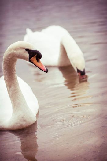 EyeEm Selects Animals In The Wild Swan Lake Water Animal Wildlife Nature Bird Water Bird Swimming Outdoors Beauty In Nature EyeEnNewHere Animal Themes No People Close-up Day