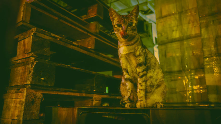 Leopard Reptile Pets Feline Representing Domestic Cat