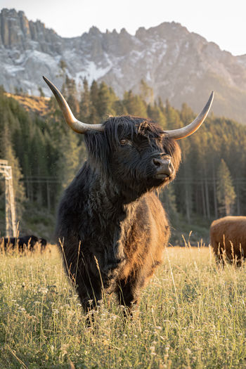 Low-angle portrait view of highland cow in dolomites, italy