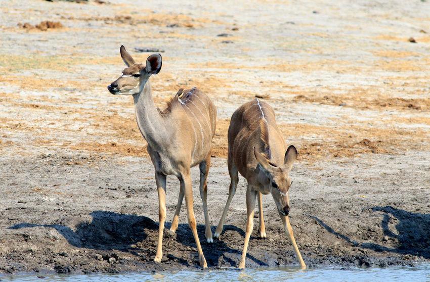 Two female Kudu on Hwange National Park Animal Photography Animal Themes Animals In The Wild Animals In The Wild Antelope Full Length Game Drive Hwange National Park Kudu Mammal Safari