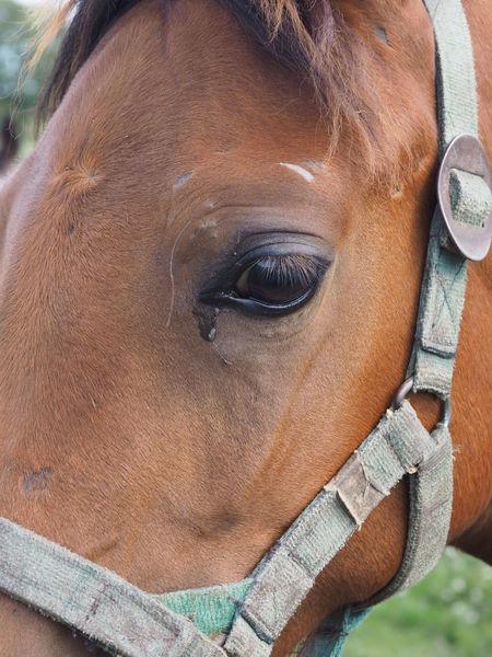 Animal Themes Animal One Animal Horse Brown Animal Head  Focus On Foreground Animal Eye