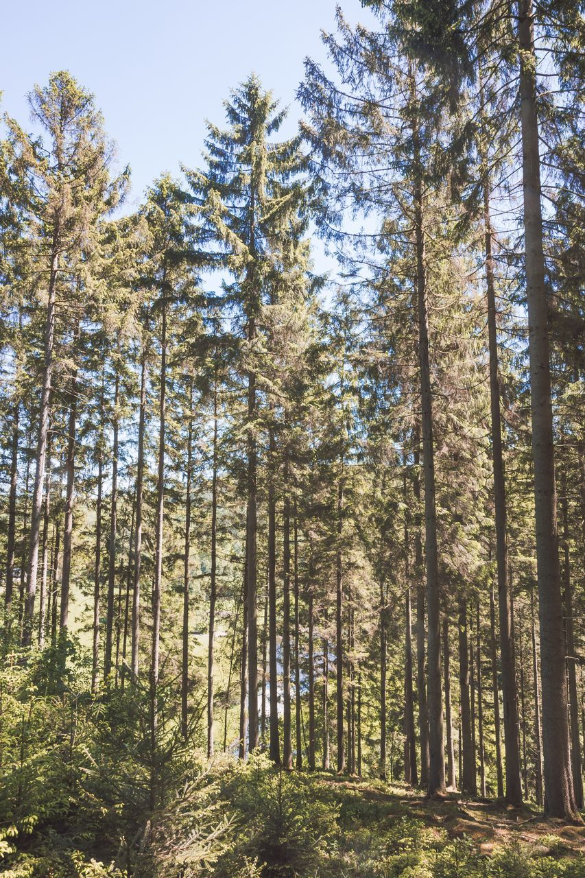tree, forest, nature, day, scenics, tranquility, woodland, pine tree, beauty in nature, outdoors, tranquil scene, growth, low angle view, no people, tree trunk, sky