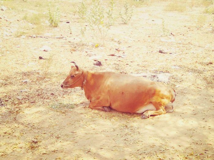 Cows 😊😊💐