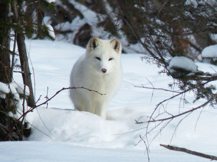 Arctic fox resting on snow covered field
