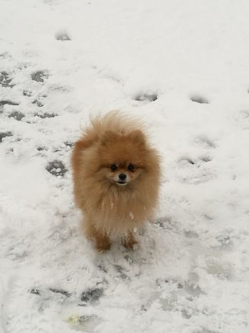 Snow Cold Temperature Winter Animal Themes Dog Pets One Animal Nature Outdoors Pomeranian Looking At Camera Portrait EyeEmNewHere