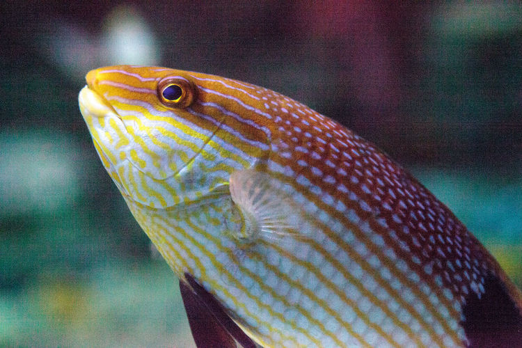 Blackfin hogfish Bodianus loxozonus can be found in the coral reef waters around Australia Blackfin Hogfish Bodianus Loxozonus Animal Themes Animal Wildlife Animals In The Wild Black-finned Pigfish Blackfin Pigfish Close-up Day Eclipse Hogfish Fish Focus On Foreground Hogifsh Indoors  Nature No People One Animal Swimming UnderSea