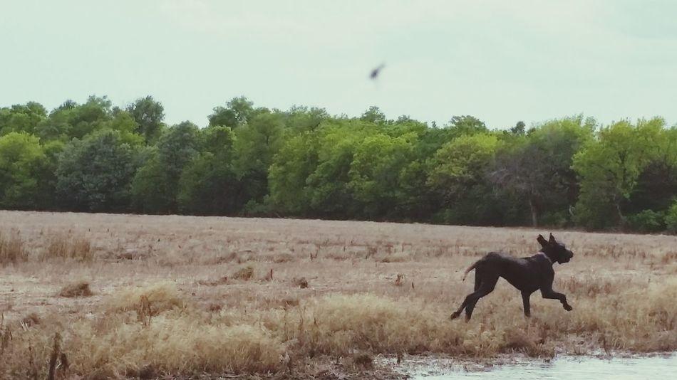 Enjoying Life My World In The Field Black Dog Great Dane Great Dane Love.❤ Doglovers My Dog <3