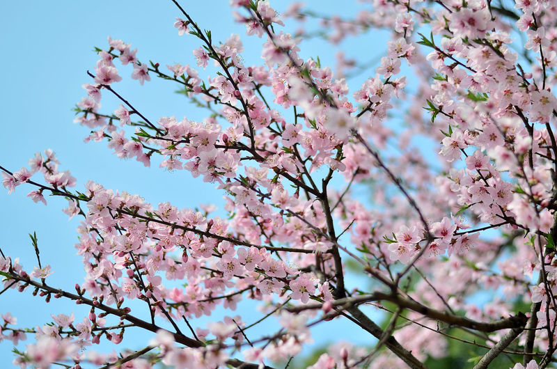 Low angle view of pink flowers on branch