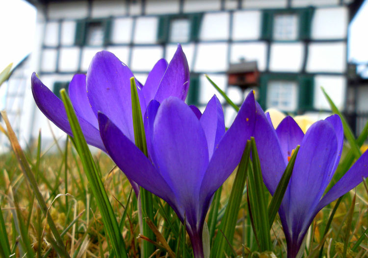 Spring greeting Beauty In Nature Close-up Crocus Day Field Flower Flower Head Focus On Foreground Fragility Freshness Grass Green Color Growth Nature No People Outdoors Plant Purple Spring Greeting