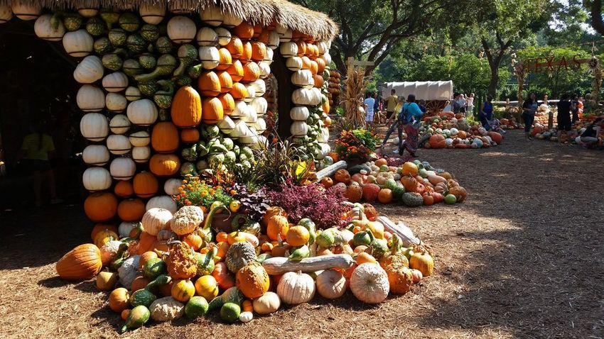 Abundance Dallas Arboretum And Botanical Garden Gourds Growth Large Group Of Objects Outdoors Pumpkin Variation Vegetable