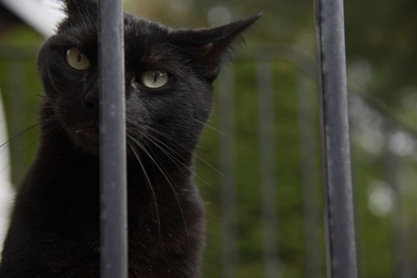 A black cat hangs out on a stoop in a suburban neighborhood One Animal Mammal Vertebrate Domestic Pets Feline Day Whisker Bars Stoop Black Color Outdoors Outside Cats Portrait Eyes Face Ears Looking Away Looking At Camera Close Up Animal Cat Yellow Eyes Headshot Animal Themes