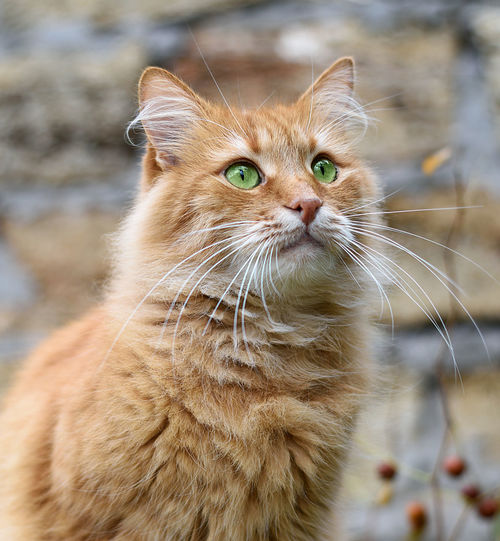 Cat Feline Mammal Animal Themes Animal Domestic Pets Domestic Animals Domestic Cat One Animal Whisker Vertebrate Focus On Foreground Looking No People Close-up Looking Away Day Portrait Animal Body Part Animal Head  Ginger Cat Animal Eye
