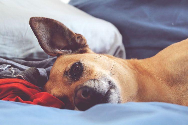 dog days First Eyeem Photo Dogslife Potcake Dog Ears Bed