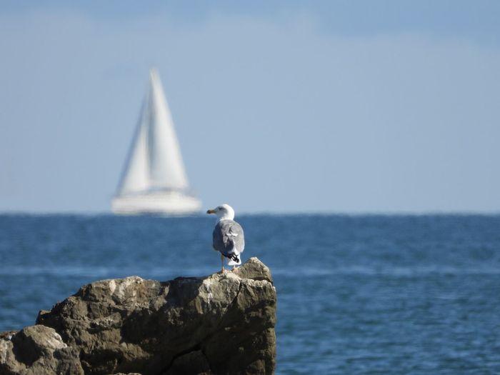 Seagull on rock and sailboat at horizon