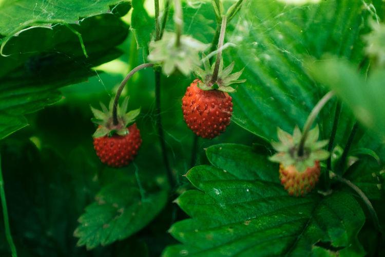 Fruit Food Leaf
