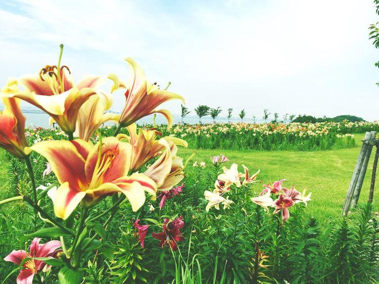 ILY Flower Beautiful Nature Inosaka Japan Photo By  Me