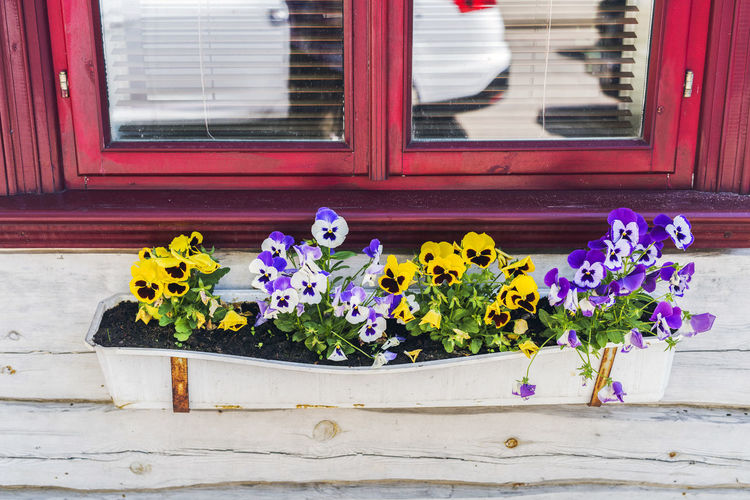 Architecture Blue Building Exterior Built Structure Close-up Day Flower Flower Head Fragility Freshness Heartsease House Multi Colored Nature No People Outdoors Pansy Flower Petal Plant Purple Village Life Violet Window Window Box Yellow