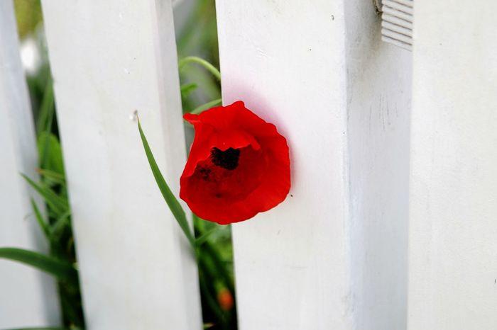 Curious Fence Fencepost Flower Head Garden Fence Poppy Flower Poppy Head White Fence White Wooden Fence Wooden Fence