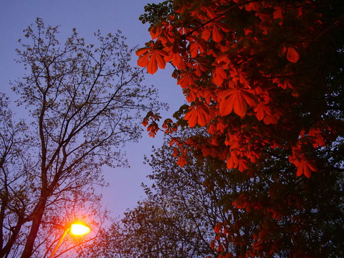 Low angle view of flowering tree during sunset