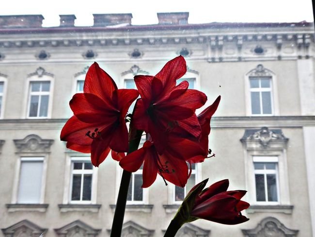 my morningview today🤗 For My Friends😚 Looking Up😍 Lucky Me🦄 Amaryllis Flower Focus On The Beauty Flower Architecture Red Building Exterior Window Low Angle View Outdoors Close-up