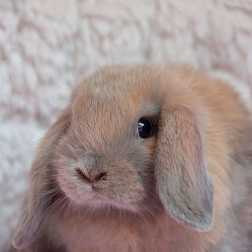 Close-up portrait of rabbit at home